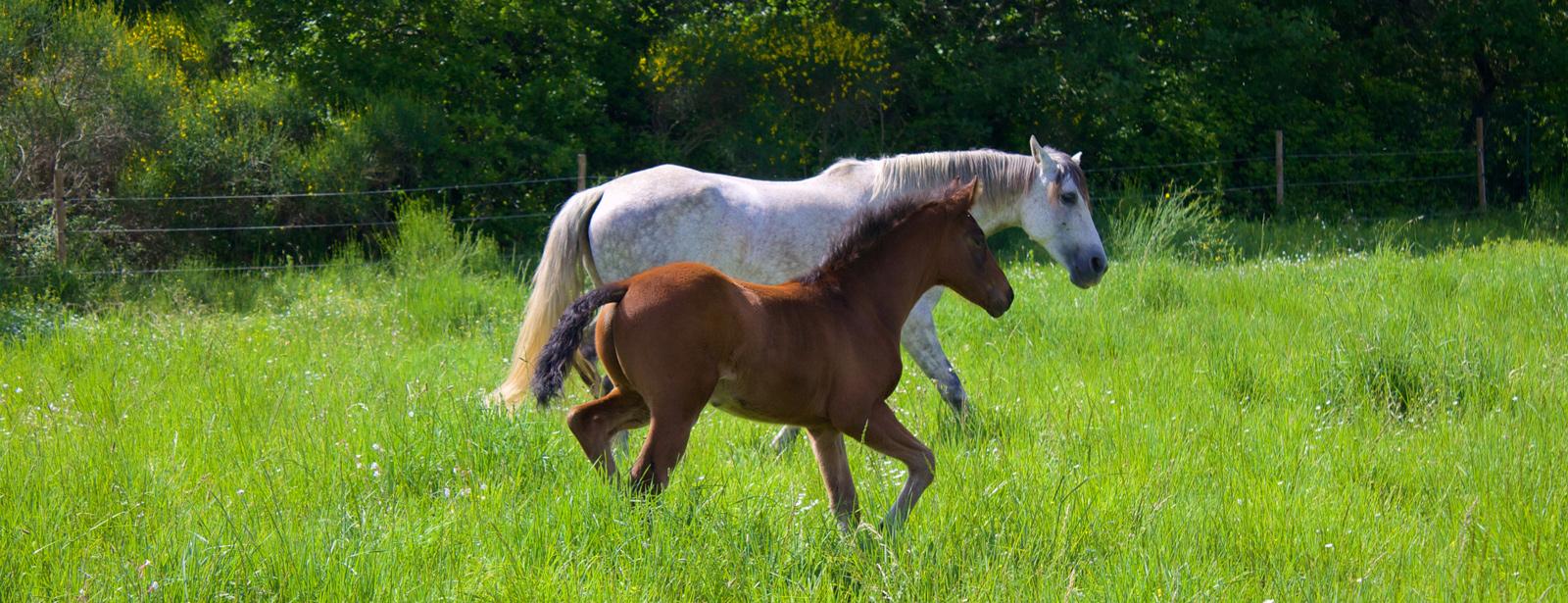 haras-merindol-chevaux